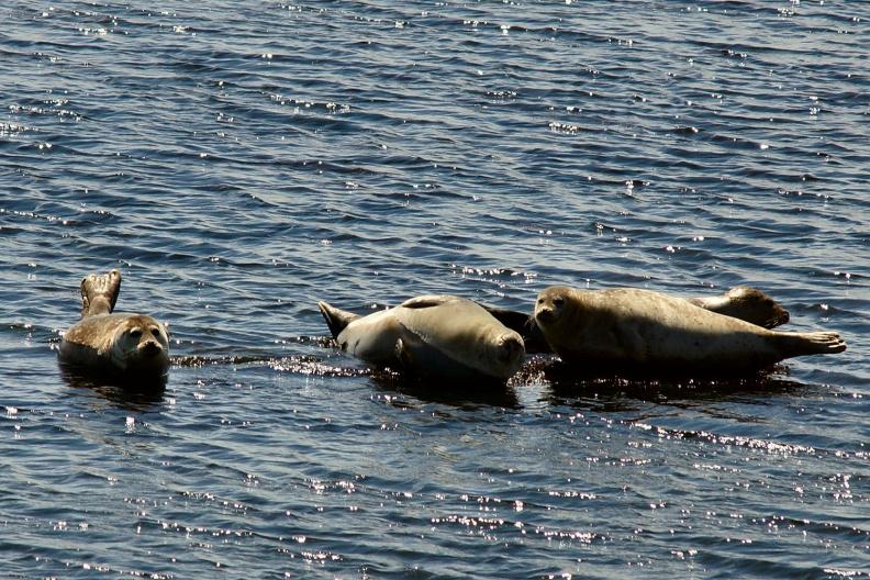 Seehunde beim Sonnenbaden.jpg