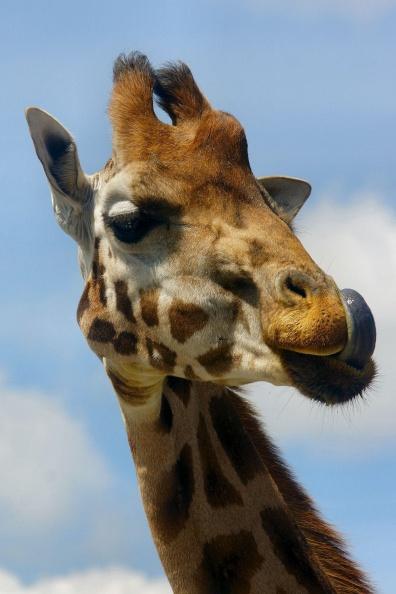 Giraffenporträt.jpg