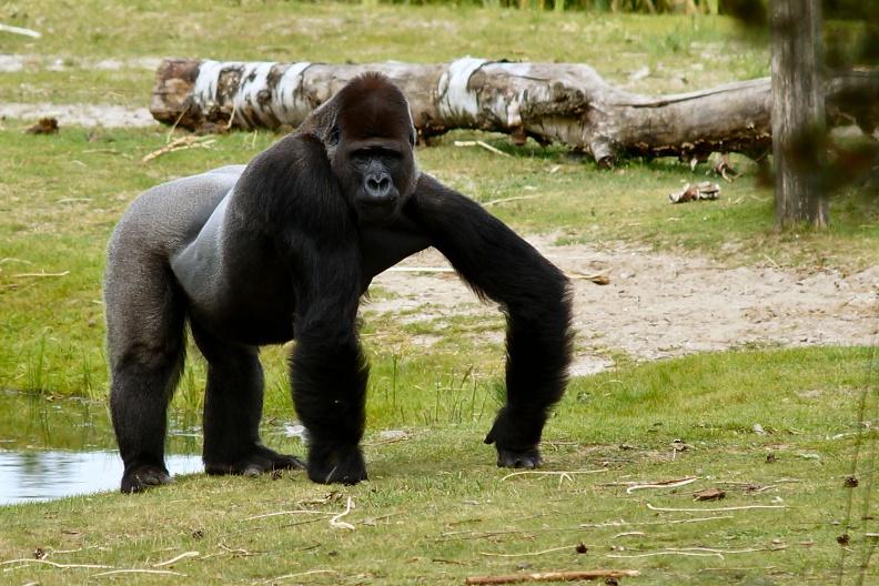 Gorilla Silberrücken.jpg