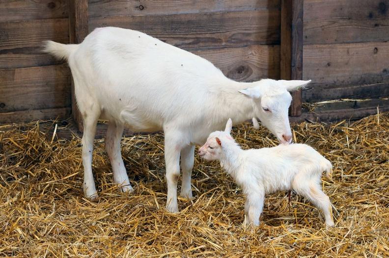Neugeborenes Ziegenlämmchen im Kinderbauernhof t