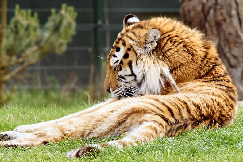 Tiger bei der Körperpflege.jpg