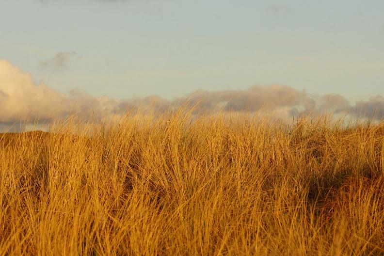 Dünengräser im Licht der untergehenden Sonne.jpg