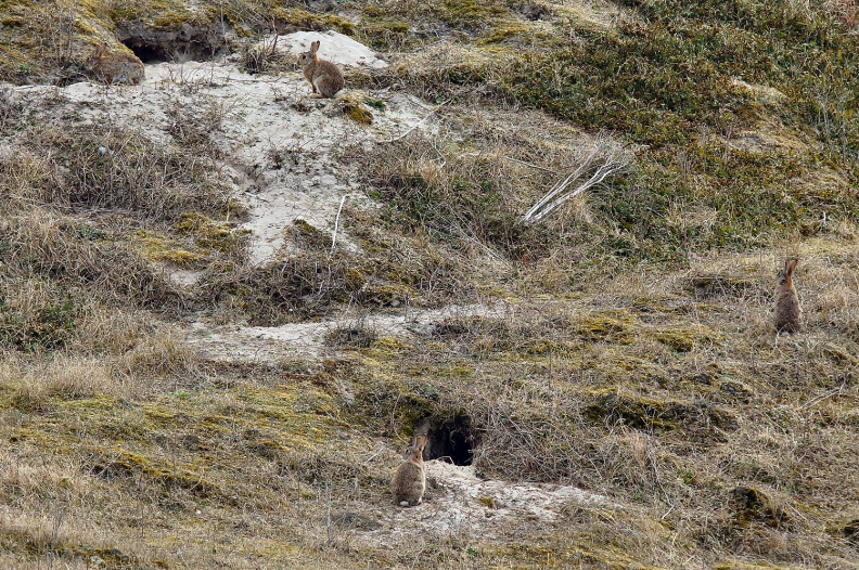 Hasen in den Dünen von Julianadorp.jpg